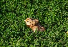 Beau petit poussin dans l'herbe verte Photographie stock libre de droits