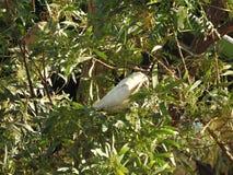 Beau petit ` s de Corella d'oiseaux recherchant l'Australie occidentale de nourriture photos stock