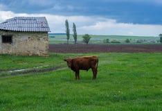 Beau petit veau dans la vue pluvieuse à la tempête Photographie stock libre de droits