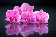 Beau Phalaenopsis de branche Photo stock
