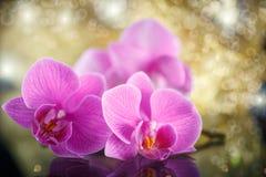 Beau Phalaenopsis de branche Images libres de droits