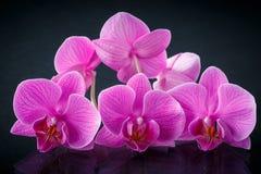 Beau Phalaenopsis de branche Image libre de droits