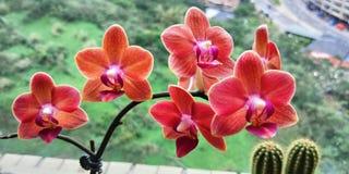 Beau phalaenopsis orange photographie stock