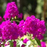 Beau phlox pourpre lumineux de fleurs en parc de ville photos stock