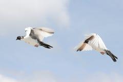 Beau pigeon en vol Photo libre de droits