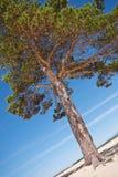 Beau pin à feuilles persistantes lumineux sur le rivage arénacé blanc images libres de droits
