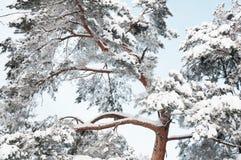 Beau pin congelé dans la forêt d'hiver Photos stock