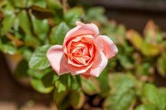 Beau Pinky Rose pour votre amour Photographie stock libre de droits
