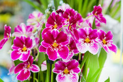 Beau plan rapproché blanc et pourpre de fond de fleur d'orchidée Images stock
