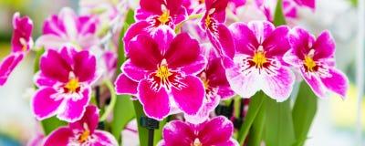 Beau plan rapproché blanc et pourpre de fond de fleur d'orchidée Photos stock