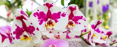 Beau plan rapproché blanc et pourpre de fond de fleur d'orchidée Photo stock