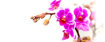 Beau plan rapproché blanc et pourpre de fond de fleur d'orchidée Photographie stock