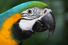 Beau plan rapproché coloré de perroquet Photos libres de droits