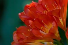 Beau plan rapproché déprimé d'une usine de Clivia Miniata au printemps ou d'été dans un jardin Image stock