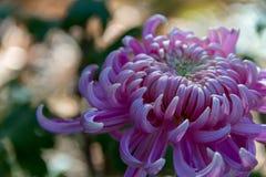 Beau plan rapproché d'un chrysanthème rose ou magenta de Louxor du côté droit du cadre Images stock