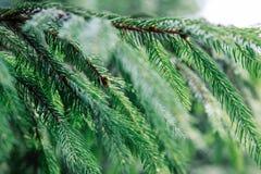 Beau plan rapproché de branche de sapin, fond de Noël, la Transcarpathie photo libre de droits