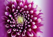 Beau plan rapproché de dahlia de fleur Images stock