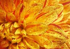 Beau plan rapproché de dahlia de fleur Photo libre de droits