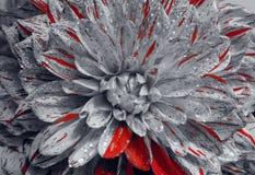 Beau plan rapproché de dahlia de fleur Images libres de droits