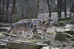 Beau plan rapproché de deux loups sauvages dans une forêt en Allemagne photos stock