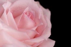 Beau plan rapproché de fleur de rose de rose Photos stock
