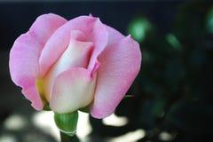 Beau plan rapproché de rose de rose, fleurs roses dans le jardin en été Image stock