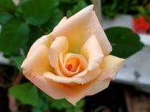 Beau plan rapproché de rose orange dans le jardin photo libre de droits