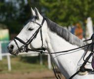 Beau plan rapproché de tête de cheval de sport sur l'événement sautant d'exposition Photo libre de droits