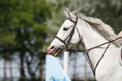 Beau plan rapproché de tête de cheval de sport sur l'événement sautant d'exposition Image stock
