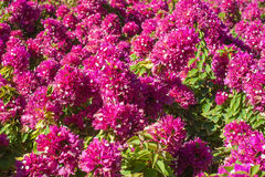 Beau plan rapproché fleurissant rouge de bouganvillée de buissons Image libre de droits