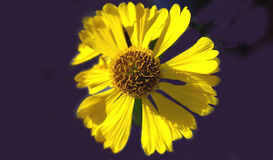 Beau plan rapproché jaune de pétales de fleur Photo libre de droits