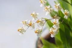 Beau plan rapproché orchidée de scintillement blanc d'Oncidium d'orchidée d'une mini photos libres de droits