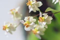 Beau plan rapproché orchidée de scintillement blanc d'Oncidium d'orchidée d'une mini photographie stock