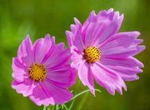 Beau plan rapproché rose de bipinnatus de cosmos Images libres de droits