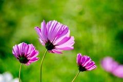 Beau plan rapproché rose de bipinnatus de cosmos Images stock