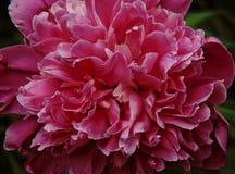 Beau plan rapproché rose de pivoine, Image stock