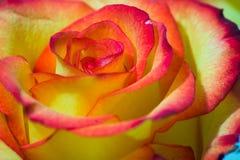 Beau plan rapproché rose et jaune de rose Photos stock