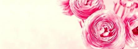 Beau plan rapproché rose vibrant de ranunculus photo stock