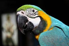 Beau plan rapproché turquoise-jaune de perroquet Photo libre de droits