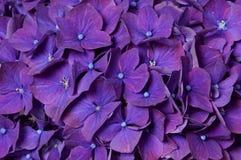 Beau plan rapproché violet d'hortensia Images libres de droits