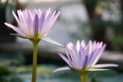 Beau plan rapproché violet en gros plan de lotus dans l'étang Photo libre de droits