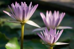 Beau plan rapproché violet en gros plan de lotus dans l'étang Photos libres de droits