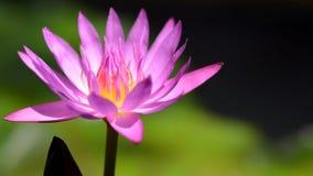 Beau plan rapproch? de lotus pourpr? photo stock