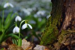 Beau plicatus de Galanthus de perce-neige près de tronçon Photos stock