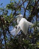 Beau plumage d'élevage Image libre de droits