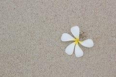 Beau Plumeria blanc Images libres de droits