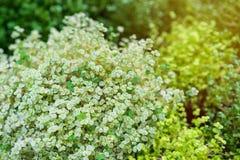 Beau pluriannuel herbacé de Soleyroliya-a avec de petites feuilles sur de longues pousses Gelksina, Helksina Soleirolia Gaudich photos libres de droits