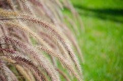 Beau poaceae de fleur d'herbe près de champ d'herbe verte au fond l'image au foyer sélectif photographie stock libre de droits