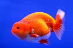 Beau poisson rouge avec le fond bleu Images libres de droits
