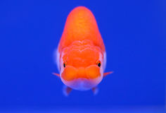 Beau poisson rouge avec le fond bleu Photo stock
